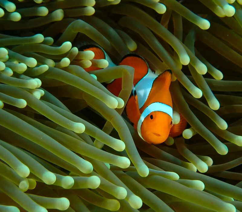 Clown fish Bali